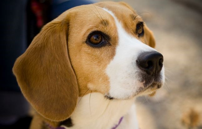 beagle chien