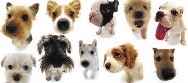 race de chien