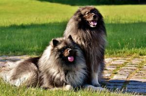 entretien d'un chien à poil long